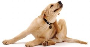 Como-evitar-las-alergias-en-nuestros-perros